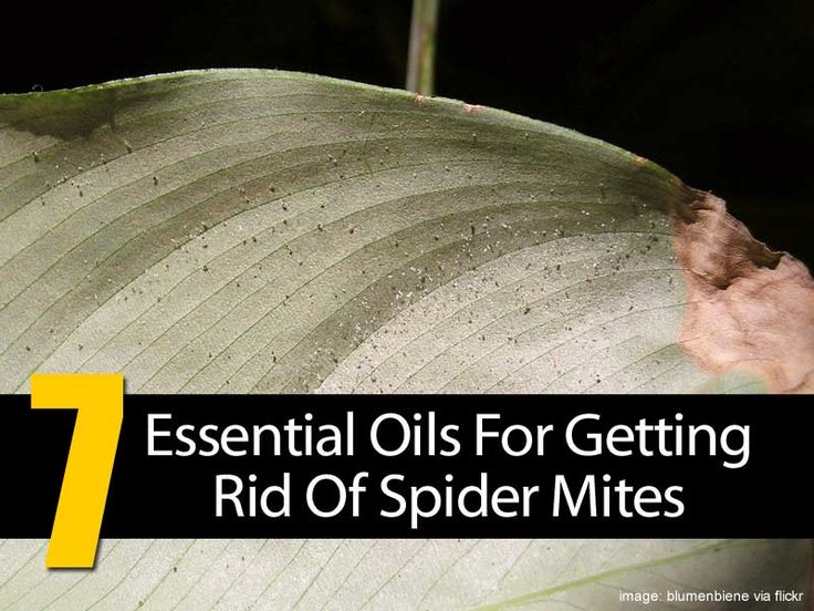 Spider mites can be very damaging for your plants, especially if you do not find them and remove them before they get the chance to lay their first eggs. Simply put, spider mites are your plants' worst enemy, as they are a common nuisance that affects both outdoor and indoor plants and cause extensive injuries. …