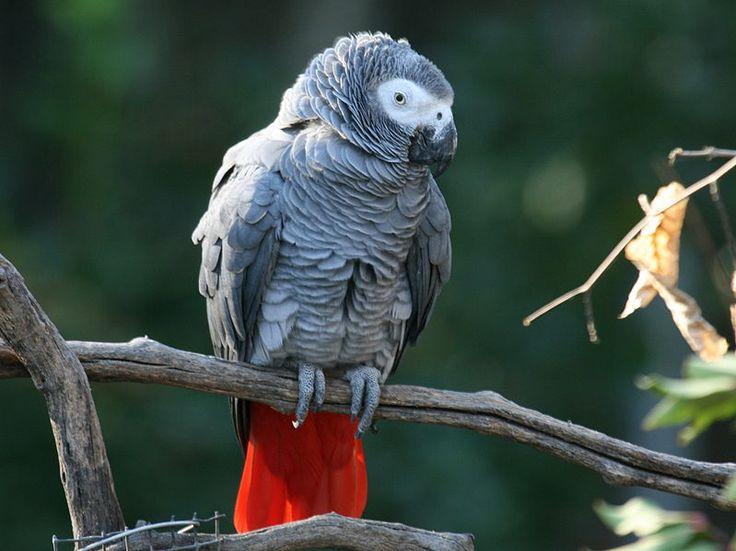 Loro-gris-africano-del-Congo1