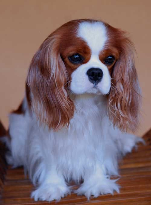 Cavalier King Charles Spaniel....I predict that we'll have Jason talked into getting one of these by the end of 2013...! :)