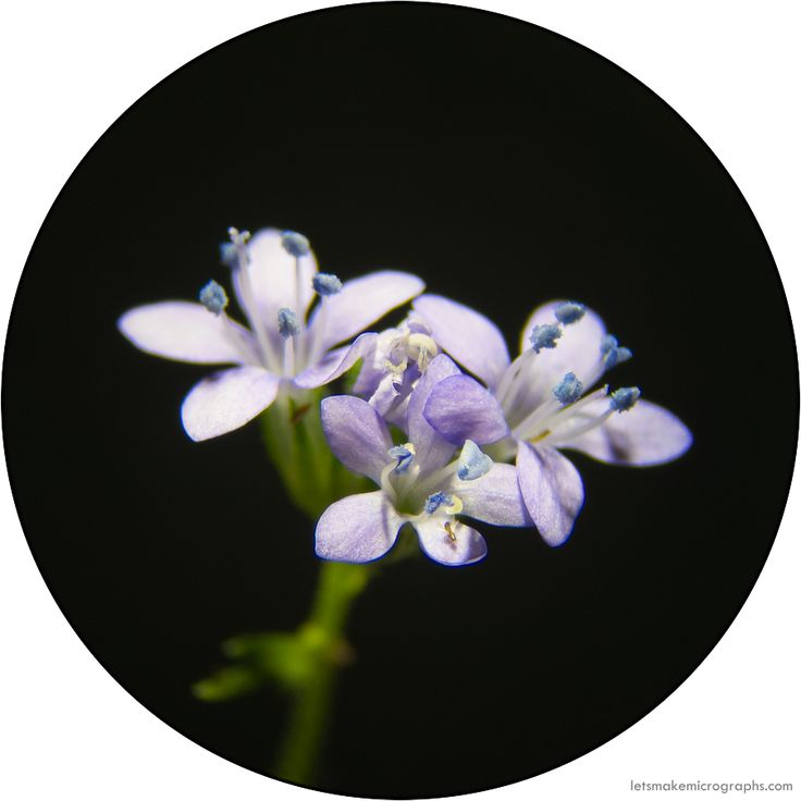 Went back to uni today to start on my PhD! This didn't leave me much time for micrographs, but I found this exotic Gilia capitata (Polemoniaceae) in my front yard and brought it in. I love the anthers (so wedgy! all blue!) and It was completely crawling with tiny insects, and it's just super cute.