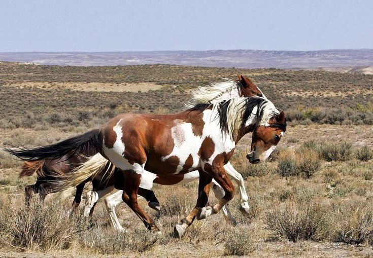 The Wild Mustangs of Sand Wash Basin