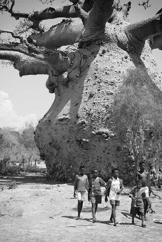 Baobab, Photo: YOSHIDA Shigeru  would love so much to see one of these in person. so surreal!