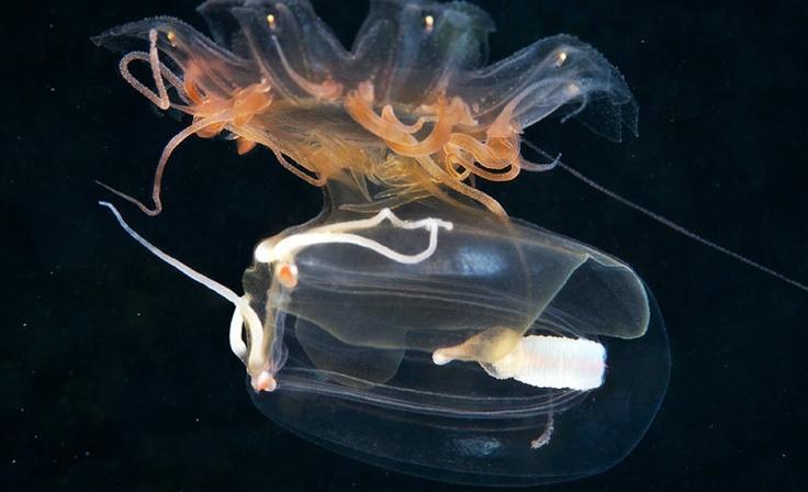 Folha.com - BBC Brasil - Biólogo captura o mundo de cores e formas das águas-vivas do Ártico - 10/09/2012