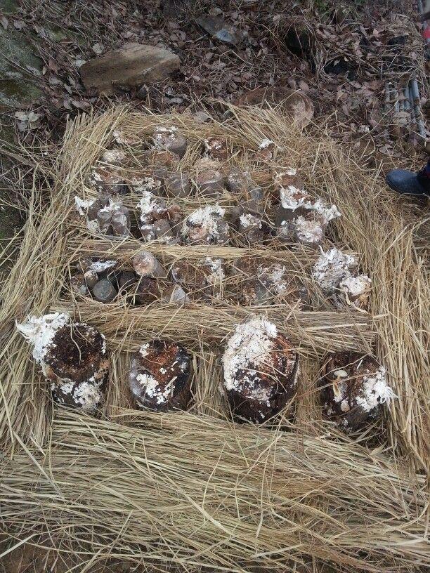 느타리 버섯 재배성공 자급자족 합니다