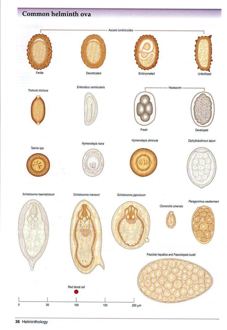 Helminthes (oeufs) Biologie médicale Parasitologia