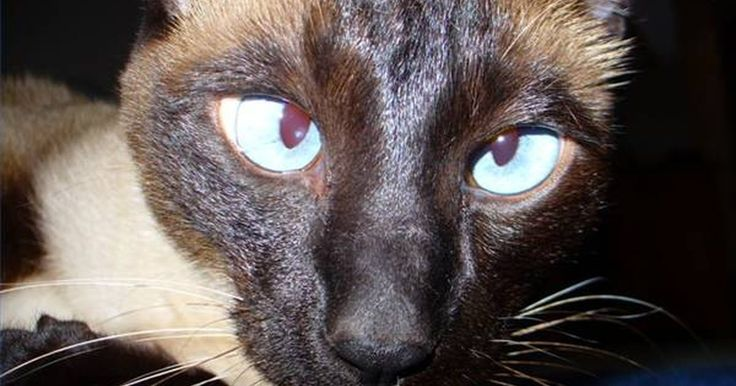 Estrabismo e astigmatismo em gatos. Estrabismo é outro nome para olhos que se fixam na posição errada. Astigmatismo é outro termo para um problema de visão no qual o gato não enxerga de maneira acurada. Gatos estrábicos têm problemas na percepção de profundidade e outras disordens oftalmológicas, pois todos os gatos com estrabismo têm astigmatismo, mas nem todos que sofrem de ...