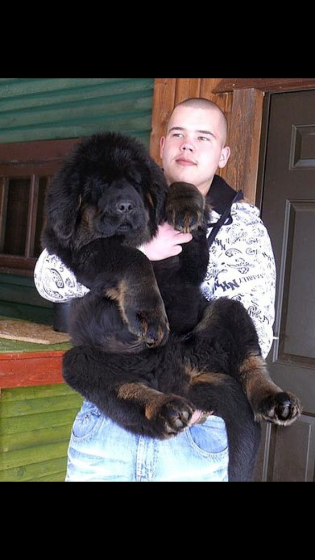 2 and a half month old Tibetan Mastiff !