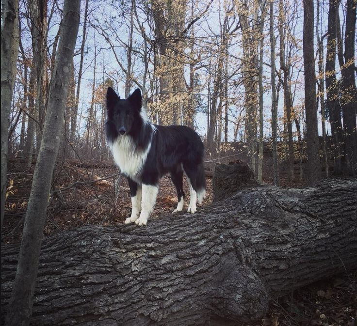 Old Time Scotch Collie - Tenzin