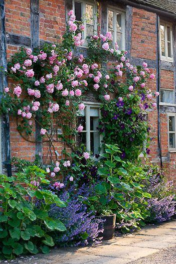 rosier sur mur maison