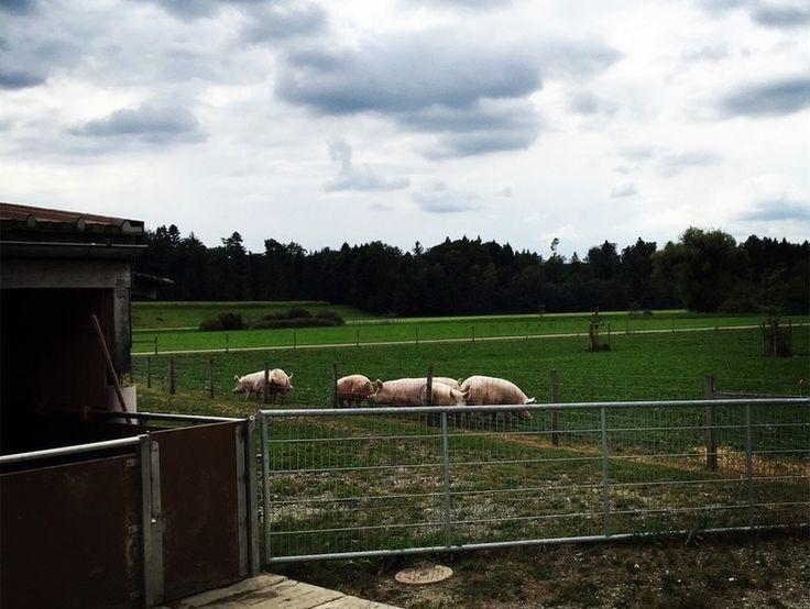 Mutterschweine Bio. In der Schweiz werden mastschweine ca. ein halbes Jahr alt. Alter der Nutztiere. Schweinehaltung.
