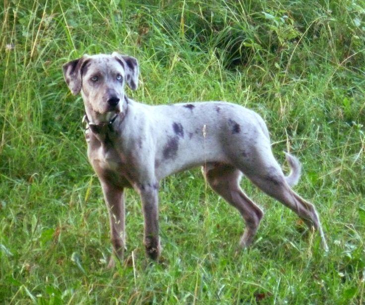 catahoula leopard hound dog cur