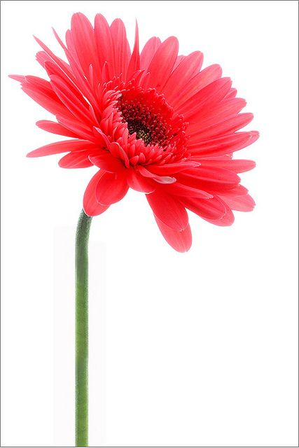Red daisy | Flickr - Photo Sharing!