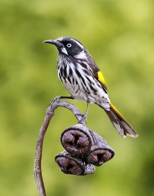 The new Holland Honeyeater - Phylidonyris novaehollandiae, is a honeyeater species found throughout southern Australia. Photo by Phil Cook.