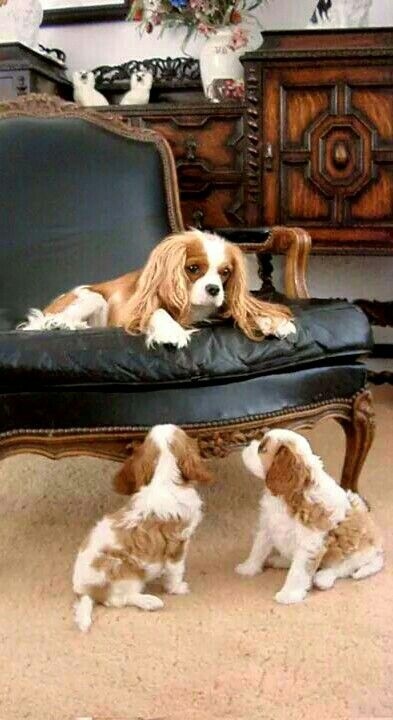 """""""No fighting in the house pups!"""" #dogs #pets #CavalierKingCharlesSpaniels #puppies facebook.com/sodoggonefunny"""