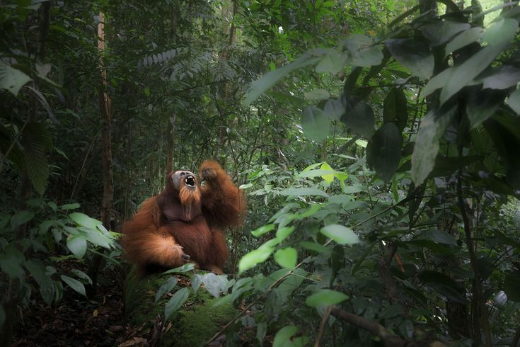 """""""A wild Sumatran orangutan depicted in Gunung Leuser primary forest in Northern Sumatra in August of 2017. The image was taken during a five-day trek in the mountains, deep in the heart of the national park to encounter the population of wild orangutans that inhabits the area. Unlike the Bornean orangutan, the Sumatran orangutan rarely descends from trees, as tigers coexist in the same habitat. Marco Gaiotti"""