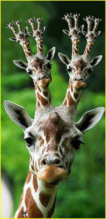 funny pictures of giraffes | Funny Giraffe Picture for Friendster | Graphics99.com