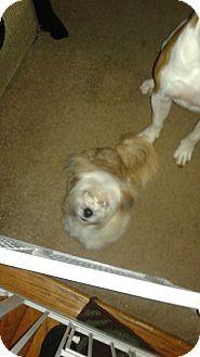 Waldorf, MD - Shih Tzu/Maltese Mix. Meet Mia, a dog for adoption. http://www.adoptapet.com/pet/18025910-waldorf-maryland-shih-tzu-mix