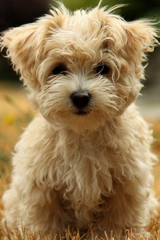 Adorable Havanese Silk Dog