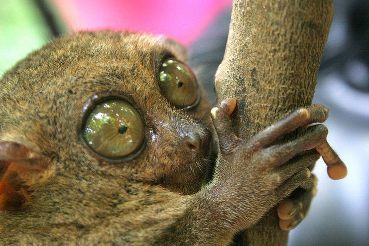 """""""What?? Endangered?!"""" The Philippine Tarsier is listed as ..."""