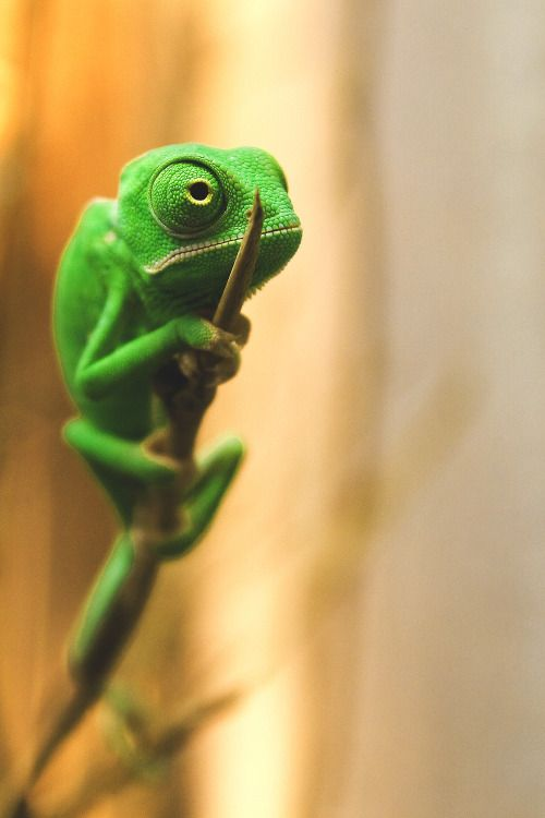 Veiled Chameleon. It's weird how much personality they have compared to other reptiles. They're awesome & hilarious.