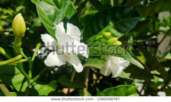 Find Nicely Bloomed Crape Jasmine Florals Bright Stock Images In Hd And Millions Of Other Royalty Free Stock Photos Royalty Free Stock Photos Tropical Flowers
