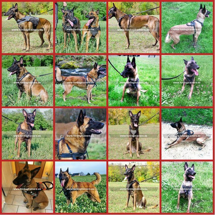Disponemos de gran variedad de arneses para perros de raza Pastor belga Malinois. Modelos de cuero y nylon, diseñados para paseos y trabajo. Puede verlos en la categoria 'Por raza' https://fordogtrainers.es/index.php/productos-por-raza.   #arnes_para_perros #arnes_para_perros_grandes #arnes_para_perros_malinois #arnes_para_malinois #arnes_para_pastor_belga_malinois #arnes_para_pastor_belga