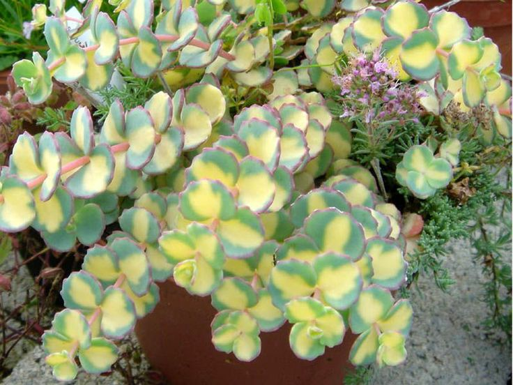 Sedum sieboldii 'Mediovariegatum' perennial with pastel green leaves with yellow centers and pink edges. Very tough plant & easy to grow.  Does best in average to poor soil that drains well. full - part-sun.  Height: 8-10 in; spreads to 2'. Zones 4-8. Drought, deer, salt, rabbit resistant.