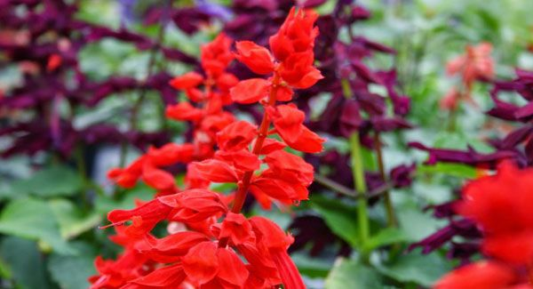 The Salvia really is the gift that just keeps on giving | Irish Examiner