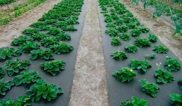 Посадка клубники весной под агроволокно.В настоящее время многие садоводы используют специальную пленку - агроволокно, которую они расстилают на грядку.