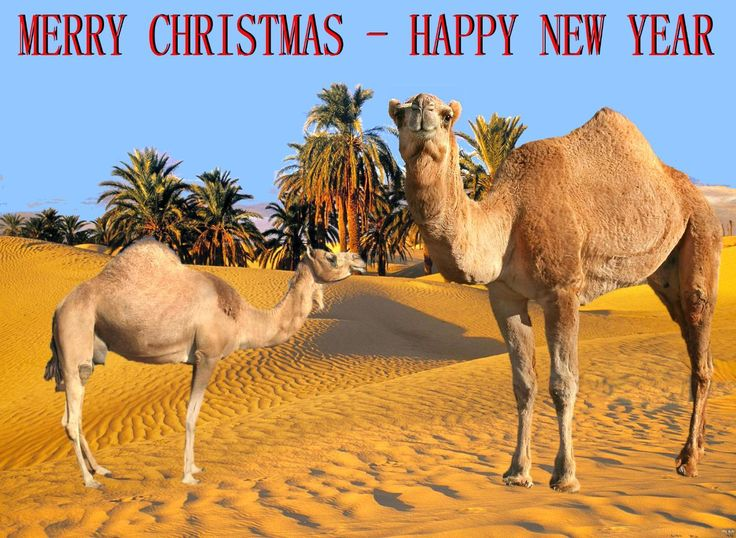 Image detail for -CHRISTMAS.CAMELS « The non conformer's Canadian Weblog