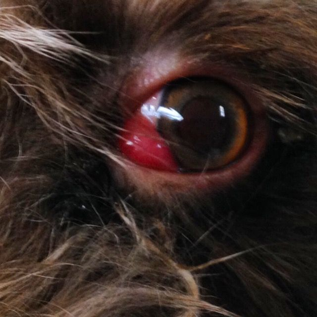 Cherry Eye Or Prolapsed Gland Of Third Eyelid Cat Eye Problems