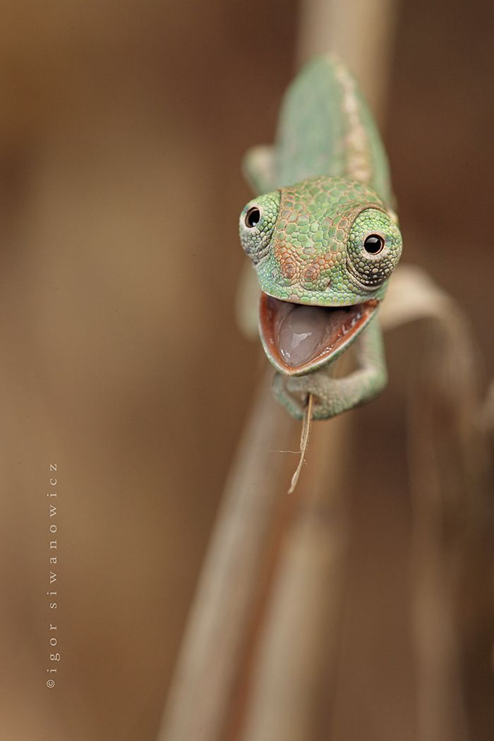 Happy Baby Chameleon will make you fall in love with lizards!
