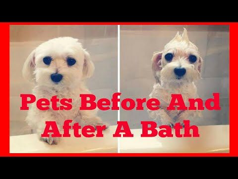 #beforeandafterbath #beforeafterphotos #beforeafter #dogs #dogvideos #videosaboutdogs #bathing #dogbathe #batheofdog