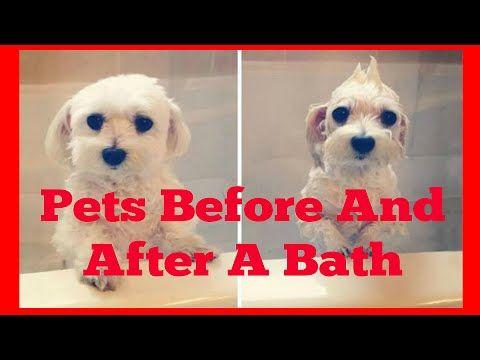 #beforeandafterbath #beforeafterphotos #beforeafter #dogs #dogvideos #videosaboutdogs #bathing #dogbathe #batheofdog