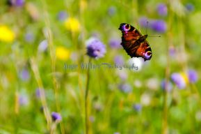Summer butterfly of Ballachulish