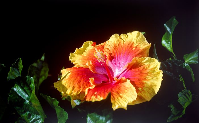 The Hibiscus Although widely known as Hawaiian hibiscus, Hibiscus rosa-sinensis was probably native to Southern China and south-east Asia, then…