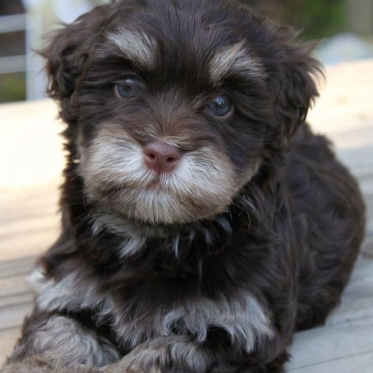 Chocolate Havanese.......awwww never saw this color before