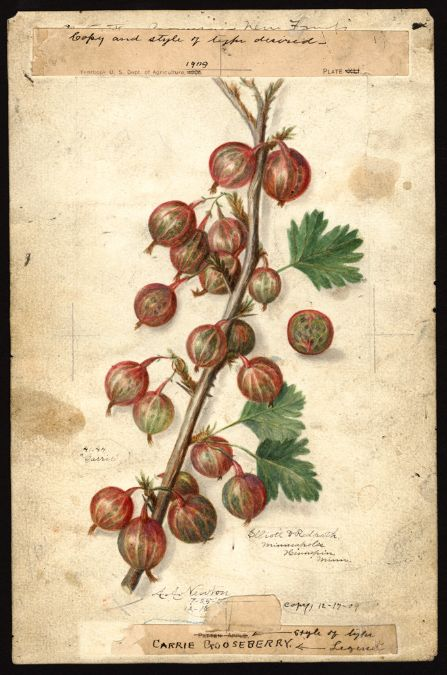 """Carrie Gooseberries (1909) by Amanda Almira Newton (1860-1943).   """"U.S. Department of Agriculture Pomological Watercolor Collection. Rare and Special Collections, National Agricultural Library, Beltsville, MD 20705"""""""