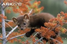 Young American marten on a branch