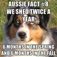 funny australian shepherds