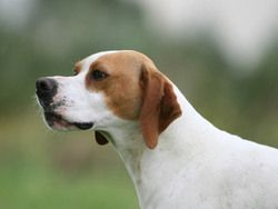 Chien Pointer anglais