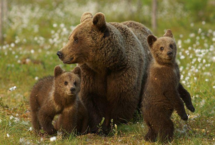 бурые медведи: 12 тыс изображений найдено в Яндекс.Картинках