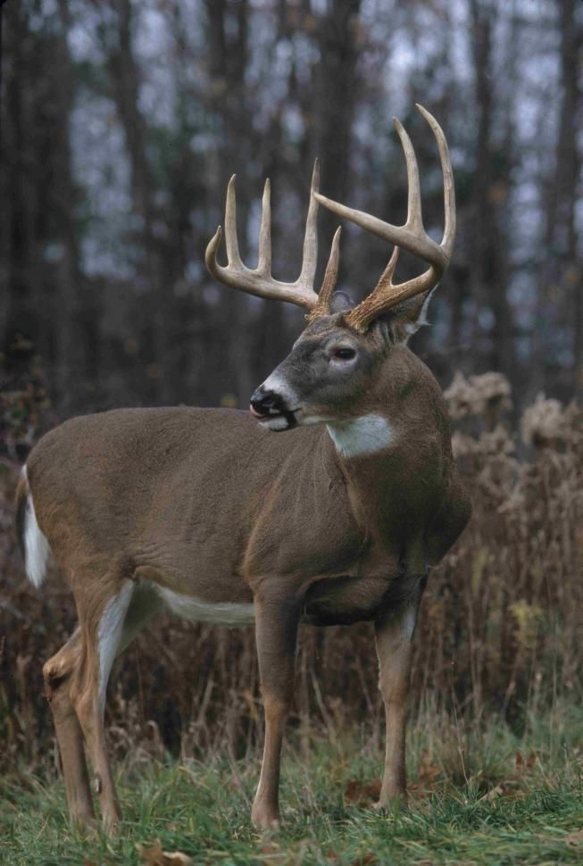 the hunt for the white tail deer Location: full articles: big game hunting tactics and strategies: deer hunting: whitetail deer hunting tips and tricks white tailed deer are so called because of the white underside of their broad tails that they stick up in the air while running.
