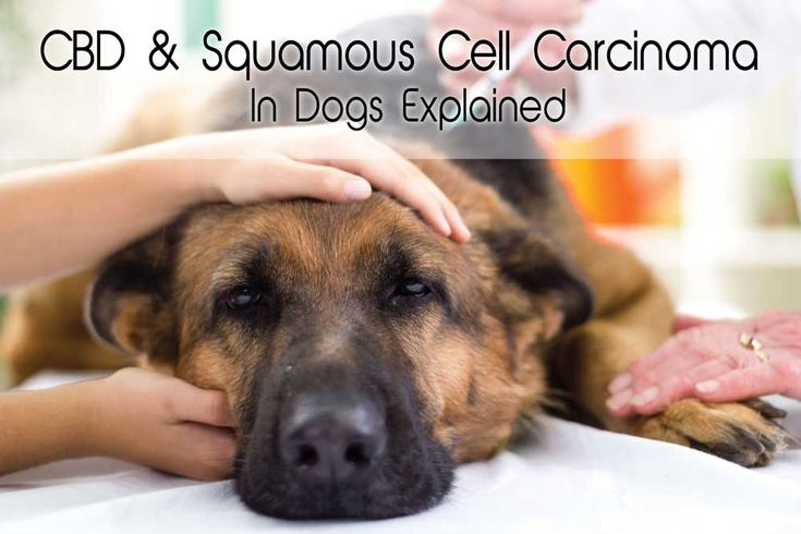 #CBDforDogs has been proven effective to manage symptoms of many cancers as well as manage the side effects that come with chemotherapy. Learn about #CBD & Squamous Cell Carcinoma here: http://bit.ly/2p8nA04