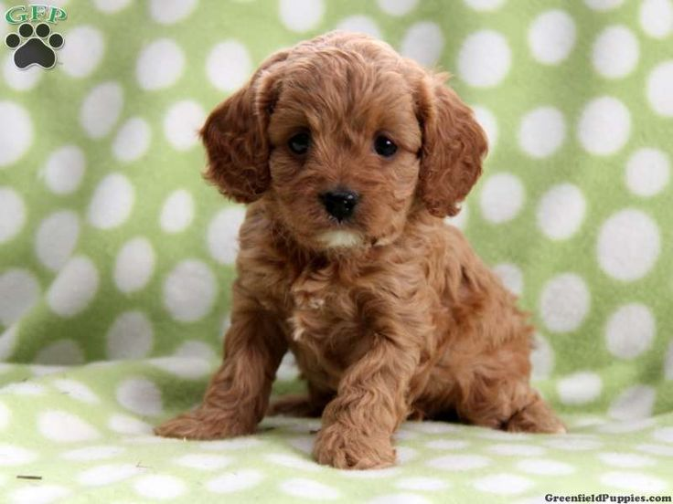 Cavapoo Puppy. I want!!! pups Pinterest For sale