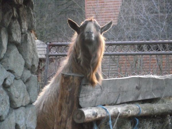 Funny Pictures Of Goats 17 Best ideas a...