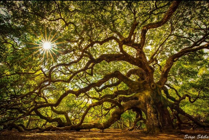 Ancient Angel Oak Tree: By Serge Skiba [oc] [1000 x 1000] #reddit