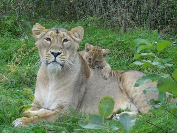 Asiatic Lion - 11 Endangered or Threatened Animals Just Born at a Zoo Near You | Mental Floss