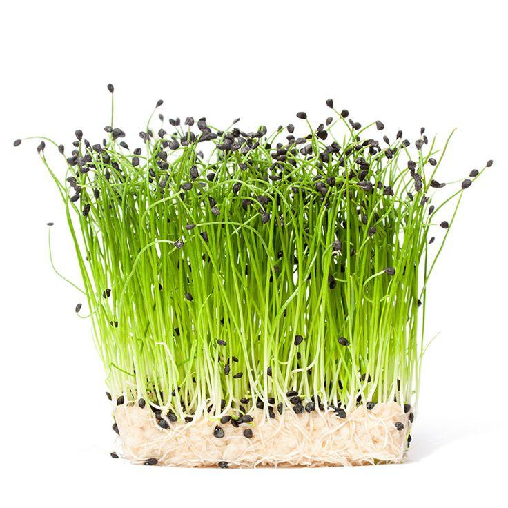 Microgreen, Purjolök. Odlas inomhus för skörd när skotten har storlek som gräslök. Fröer alltid fraktfritt hos Wexthuset.