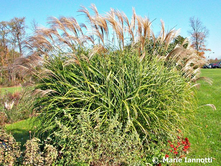 Add a little interest to your landscaping with your choice of durable ornamental grasses! Learn more: